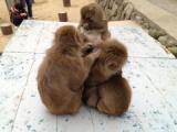『国立公園高崎山自然動物園のサルたちとふれあう』の画像