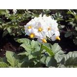 『じゃがいもの花』の画像