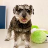 『【犬】M.シュナウザー5歳の里親募集を開始しました』の画像
