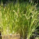 『美山錦の稲刈り』の画像