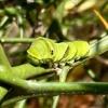 校庭にアゲハ蝶の幼虫