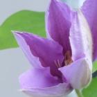 『ブルーのクレマチス、とうとう咲きました&八重のゼラニウムとヒマラヤユキノシタ』の画像