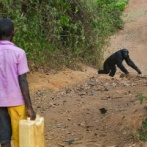 猿「おう、人間。食い物よこせよw子供殺すぞw」 アフリカでチンパンジーと人間の対立が深刻化