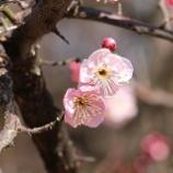 『梅の花 理想の人物に喩えられる尊い花』の画像