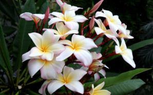 プルメリアの花を育てる
