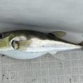 令和3年10月16日(土) 太刀魚、ハモ