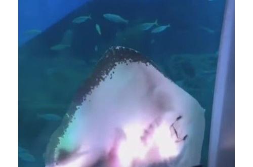【動画】八景島シーパラダイスのエイが展示のアオリイカを捕食する事故発生www 客は悲鳴を上げるwのサムネイル画像