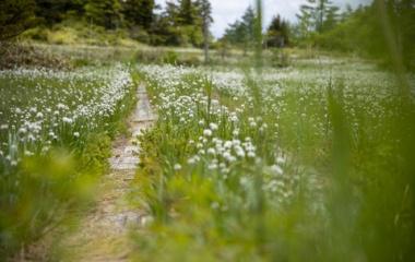 『ふわっつふわのワタスゲとゆるゆる歩き✨芳ヶ平🌸』の画像