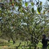 『柿の収穫・干し柿』の画像