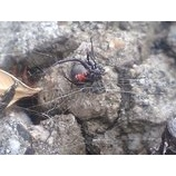 『セアカゴケグモ』の画像
