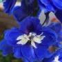 青い花を見て虹の橋のナナを思う