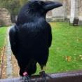 ロンドン塔に住むカラスの1羽が消息不明に、国が崩壊するというジンクスに全英が震える(イギリス)