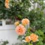 *可愛いニチニチソウ見~つけた♡|房咲きのバラの嬉しいところ