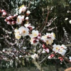『梅』の画像