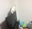 【可愛い】テレビの上で足を滑らせる猫
