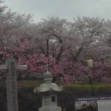 『今日の栗林(桜)』の画像