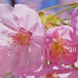 『【動画】 2019年03 中山鬼子母神 桜 (RX1 Xc WX500)』の画像