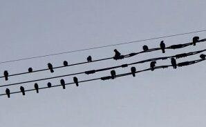 音符のように見えるカラスの群れ