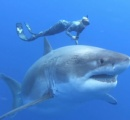 ホホジロザメと泳ぐ命知らずの美人ダイバーが話題に