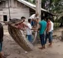 モンハンの雑魚で出てきそうな巨大蛇がインドネシアで捕獲され、地元民に上手に焼かれて食われる。