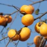『柿と青空』の画像