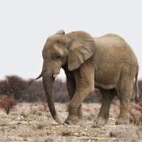 『「災」:ジンバブエのゾウたちが次々と死亡』の画像