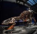 【画像】ティラノサウルス・レックスの骨格標本、パリでお披露目
