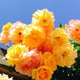 『今が見頃!エレガントな春の薔薇!魅惑のナイトローズ!世界最大級のバラ園「花フェスタ記念公園(岐阜県・可児市)」がオススメですよ。』の画像