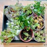 『ミントを枯らす私でも大丈夫!100均観葉植物とアボカド』の画像