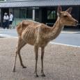 【画像】『鹿せんべい依存症』の兆候、観光客減で激やせのシカ。 #奈良公園 #稼ぎ頭