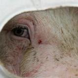 『食べるということ  豚さん編』の画像