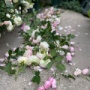 *花柄すら美しい〜バラ一気にカットしました〜