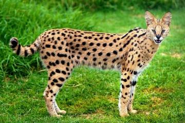 脅威の単独狩猟成功率50%以上のサーバルキャットについて 意外と大きく凶暴な生態・・・