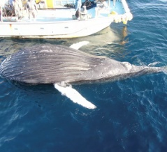 A Humpback Whale Got Tangled in Taiji's Set Nets Again! また!、ザトウクジラが太地の定置網に絡まって死亡!