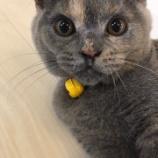 『飼い猫 チョビ日記② 〜成長中!!〜』の画像