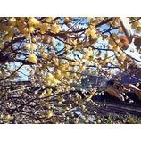 『ろう梅満開』の画像