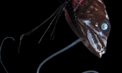 黒い深海魚、99.9%の光を吸収と判明、闇に紛れる