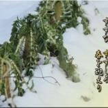 『春の七草 / 手抜き除染に呆れるばかり』の画像
