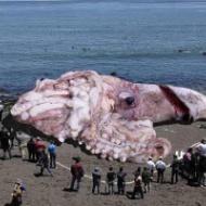 巨大イカのデマ