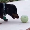 犬がプールサイドで遊んでいた。このスリルがたまらない! → 犬はボールをこうします…