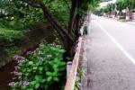 紫陽花が咲く線路道。松塚~交野まちなみ日記No.61~