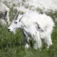 【悲報】 イギリス、野生のヤギに街を乗っ取られる