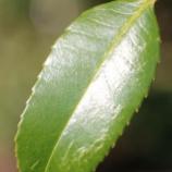 『直筆に込められた思い:タラヨウの葉:はがきの木』の画像