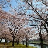 『桜のトンネルをくぐりに赤羽荒川土手へ訪問してきた』の画像