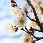 『梅、開花』の画像