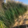 無肥料・無農薬のお米