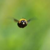 【悲報】クマバチさん、飛べると思い込んでいるから飛べる模様wwwwww