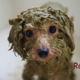『春は美容と健康の季節!愛犬のためのアーユルヴェーダハーブパック』の画像