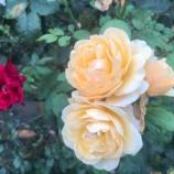 『【朝のご挨拶】戸田市の特徴のひとつは多くのご家庭や花壇で『お花』が育てられていること。心が元気を失ってしまわないために「お花を愛でながら」街歩きしましょう!』の画像
