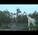 ケニアの白いキリン、2頭の死体を発見 なぜ?